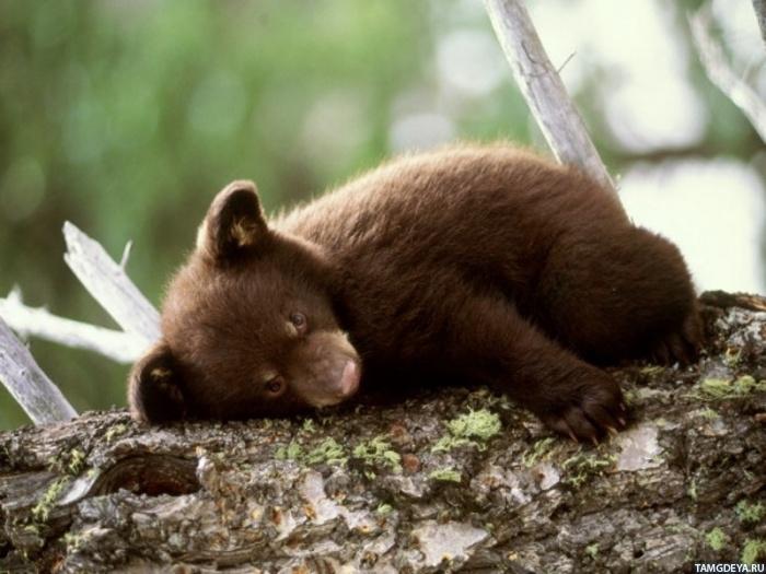 картинки на аву медведи:
