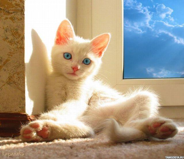 Картинка 640x556 белый котёнок загорает