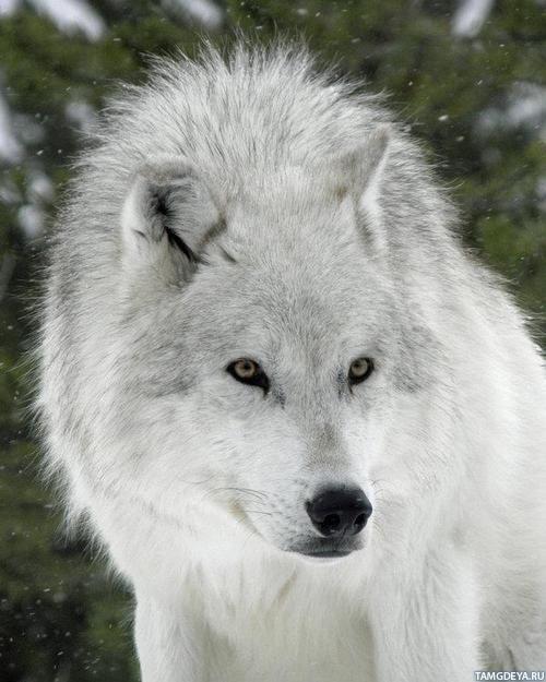фото волков на аватарку:: pictures11.ru/foto-volkov-na-avatarku.html