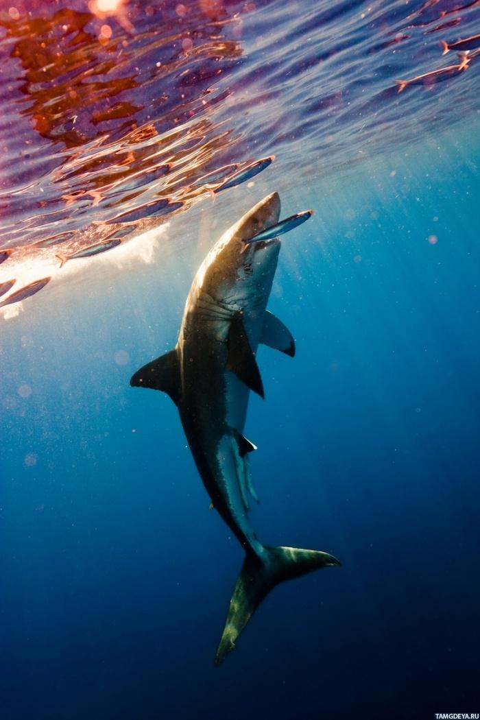 Картинка 700x1050 Акула охотится на рыбу у ...: avatarko.ru/pic.php?id=68869