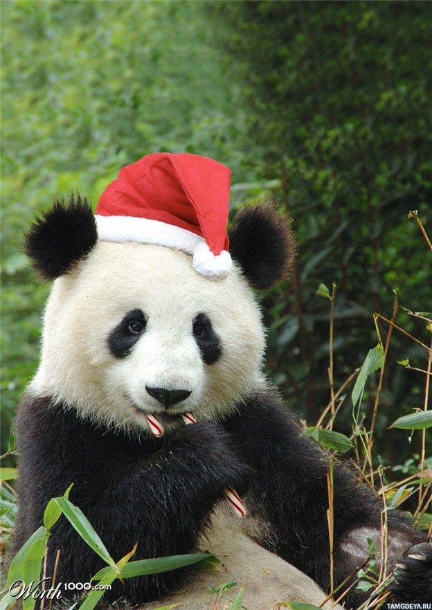 Тэги панды животные новый год