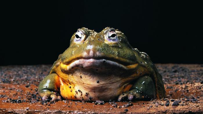 Размножение жаб рейда