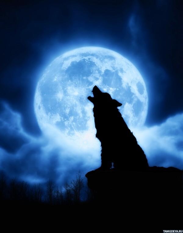 Фото воющего волка