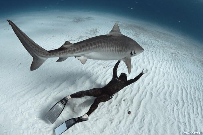 ... акулой | Тэги: Животные | Рыбы | Акулы: avatarko.ru/pic.php?id=86325