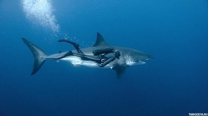 ... акулой | Тэги: Акулы | Животные | Рыбы: avatarko.ru/pic.php?id=55831