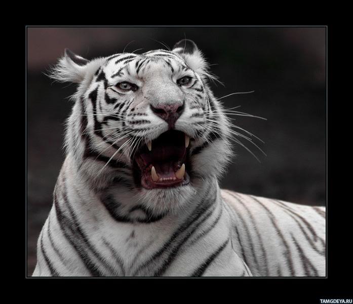 картинки тигров на аватарку: