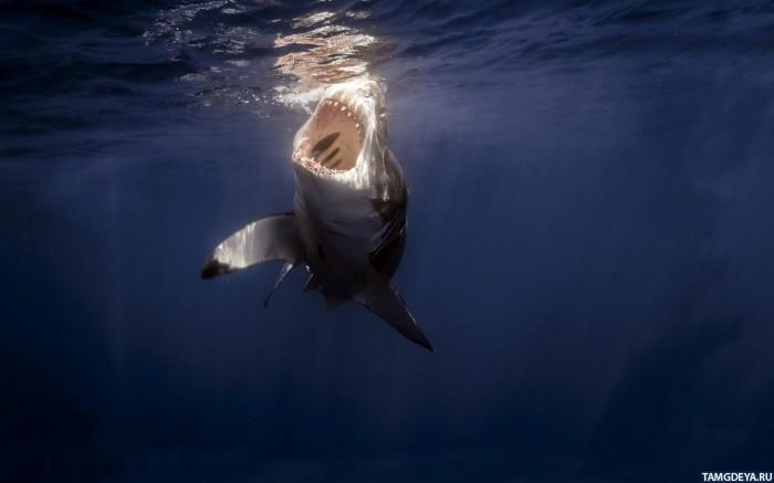 Аватарка акула, бесплатные фото, обои ...: pictures11.ru/avatarka-akula.html