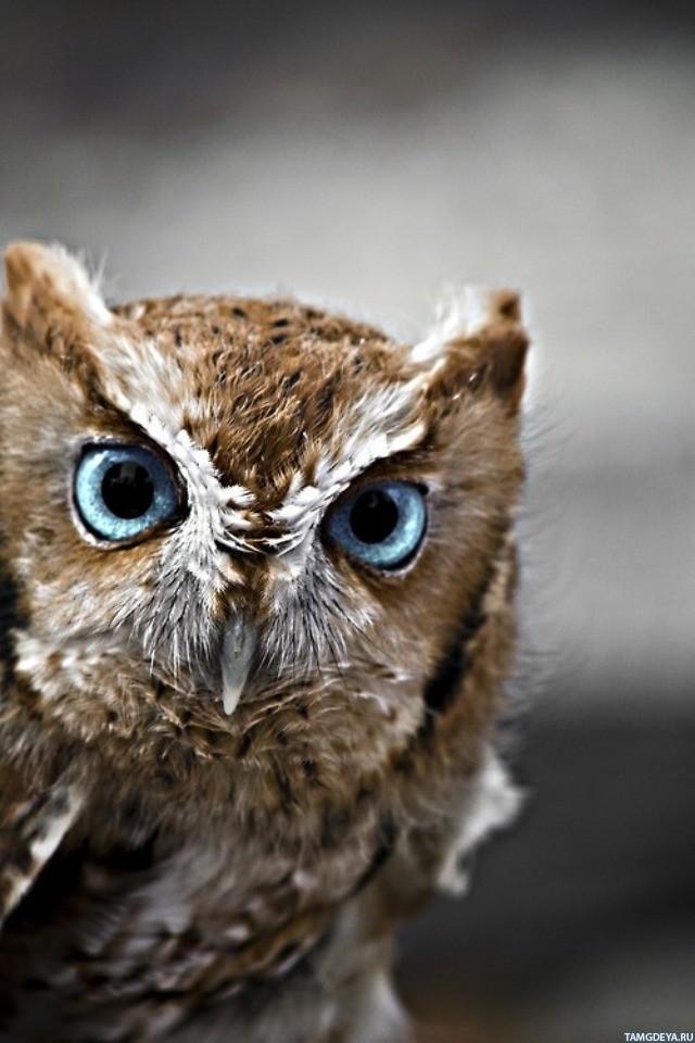 Сова с большими голубыми глазами - аватары, картинки, авы